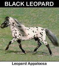 Black Leopard Appaloosa