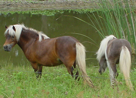 Miniature Horse Breed Information