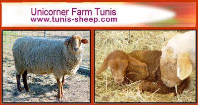 Unicorner Tunis Sheep